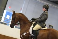 111 Arabian Sport Horse Under Saddle Open