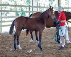 Dressage Foal Weanlings