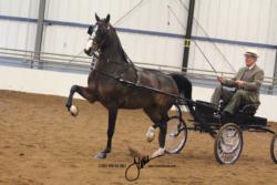 25 MOR Park Harness Jr-Limit Horse