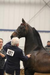 9-12 MOR Stallions In Hand