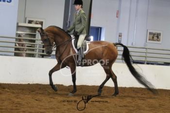 052 Arabian Hunter Pleasure Mares & Geldings