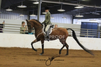 057 Arabian Hunter Pleasure JTR