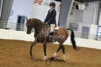 120 Arabian Sport Horse Show Hack
